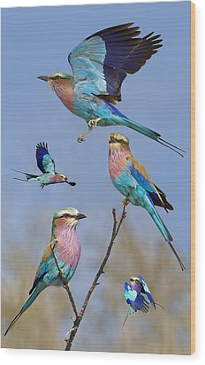Lilac-breasted Roller Collage Wood Print by Basie Van Zyl