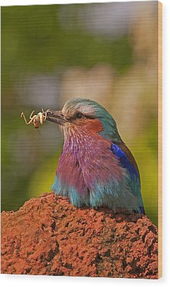 Lilac Breasted Roller Wood Print by Paul Scoullar