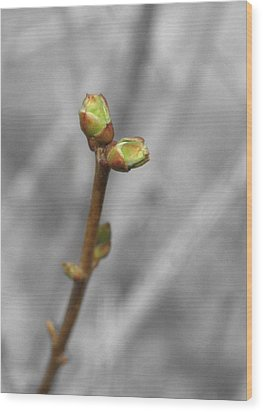 Lilac Bud Season Wood Print