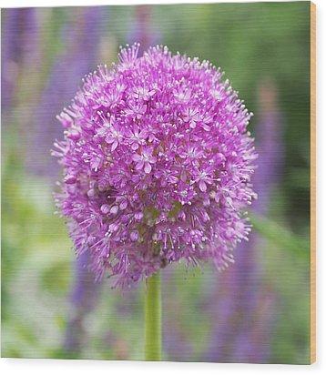 Lilac-pink Allium Wood Print by Rona Black