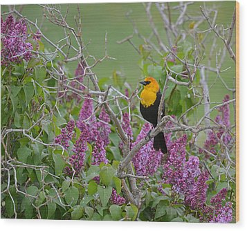 Lilacs And Yellowhead Blackbirds Wood Print