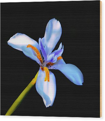 Lily In Blue Wood Print by Lyle  Huisken