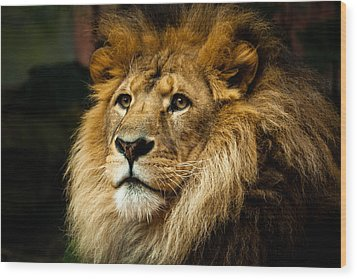 Lion Wood Print by Ann Clarke Images