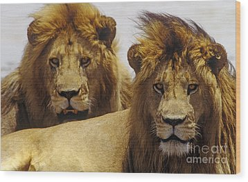 Lion Brothers - Serengeti Plains Wood Print by Craig Lovell