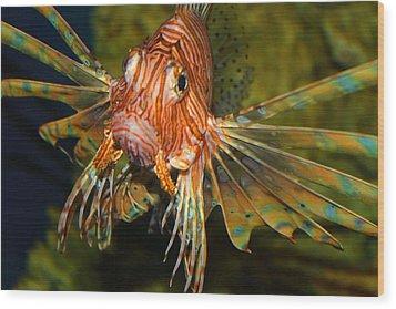 Lion Fish 2 Wood Print by Kathryn Meyer