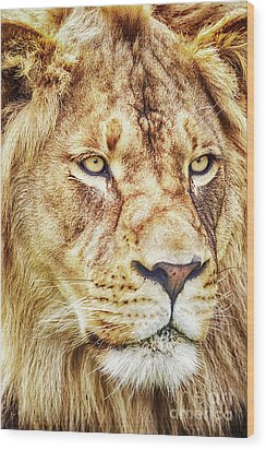 Lion-the King Of The Jungle Large Canvas Art, Canvas Print, Large Art, Large Wall Decor, Home Decor Wood Print by David Millenheft