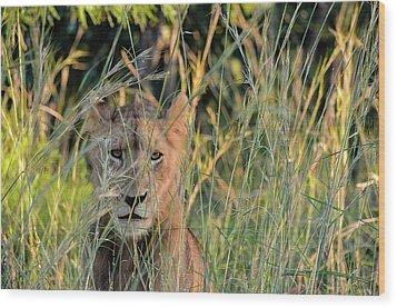 Lion Warily Watching Wood Print