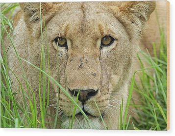 Wood Print featuring the photograph Lioness by Riana Van Staden