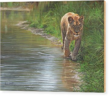 Lioness. Water's Edge Wood Print by David Stribbling
