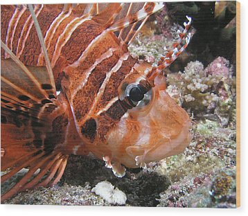 Lionfish Closeup Wood Print by Gary Hughes