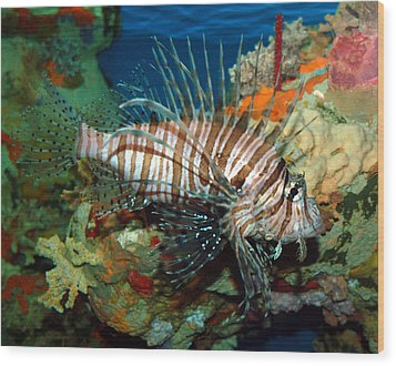 Lionfish Wood Print by Kathleen Stephens