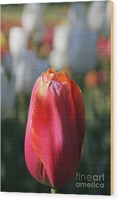 Lit Tulip 03 Wood Print by Andrea Jean