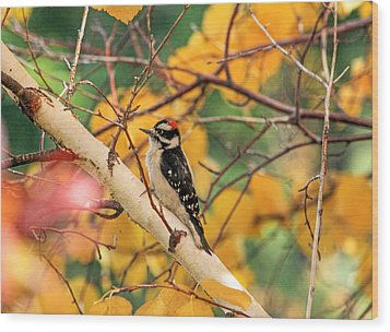 Little Downy In Autumn Wood Print by Donna Kennedy