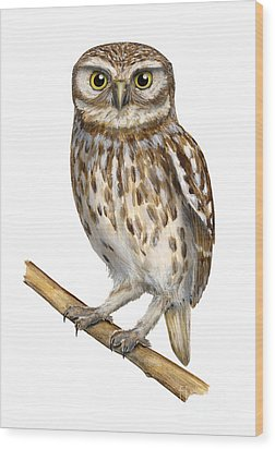 Wood Print featuring the painting Little Owl Or Minerva's Owl Athene Noctua - Goddess Of Wisdom- Chouette Cheveche- Nationalpark Eifel by Urft Valley Art