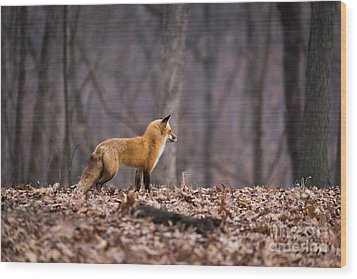 Little Red Fox Wood Print by Andrea Silies