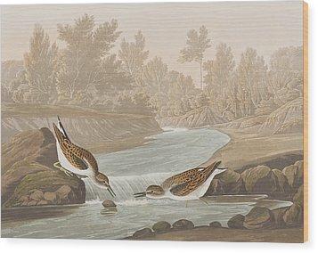 Little Sandpiper Wood Print by John James Audubon