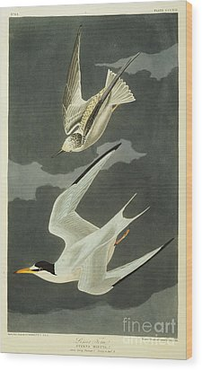 Little Tern Wood Print by John James Audubon