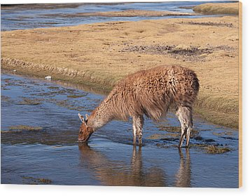 Llama Drinking In River Wood Print