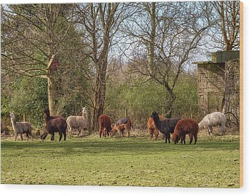 Wood Print featuring the photograph Alpacas In Scotland by Jeremy Lavender Photography