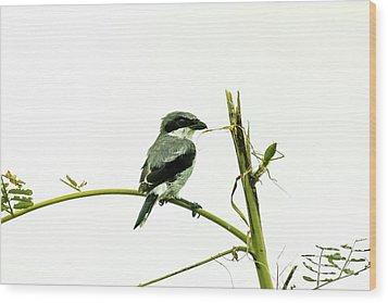 Loggerhead Shrike And Mantis Wood Print by Robert Frederick