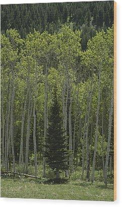 Lone Evergreen Amongst Aspen Trees Wood Print by Raymond Gehman