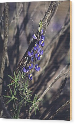 Lonely Lupine Wood Print