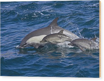 Long-beaked Common Dolphins, Delphinus Wood Print by Ralph Lee Hopkins