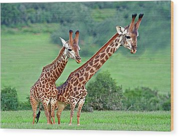 Long Necks Together Wood Print by Bruce Iorio