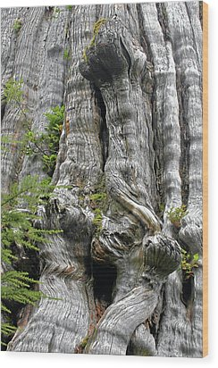 Long Views - Giant Western Red Cedar Olympic National Park Wa Wood Print by Christine Till