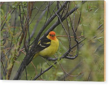 Looking At You - Western Tanager Wood Print