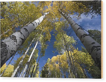 Looking Up At Autumn Aspens Wood Print by Ed Book