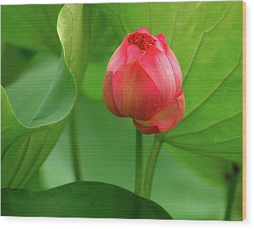 Lotus Flower Wood Print by Harry Spitz