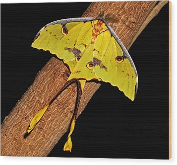 Wood Print featuring the photograph Luna Moth by Judy Vincent