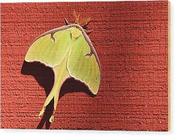 Luna Moth On Red Barn Wood Print by Sheila Brown