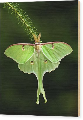 Luna Moth Spreading Its Wings. Wood Print by Daniel Cadieux