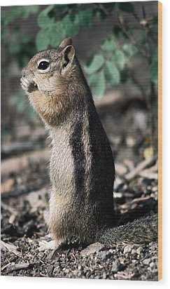 Wood Print featuring the photograph Lunchtime For Ground Squirrel by Sally Weigand