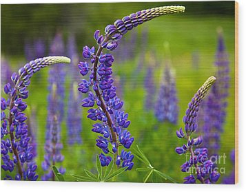 Lupine Curves Wood Print by Susan Cole Kelly