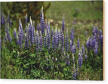 Lupine In Montana 2 Wood Print