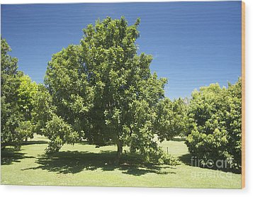 Macadamia Nut Tree Wood Print by Kicka Witte - Printscapes