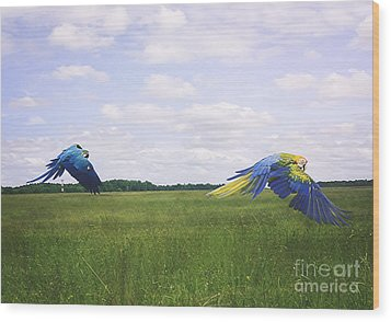 Macaws Flying Together Wood Print by Melissa Messick
