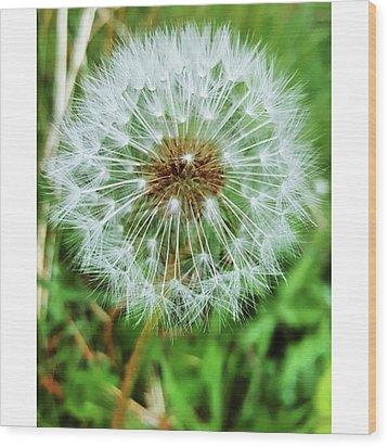 #macro #dandelion #dandelionclock Wood Print by Natalie Anne