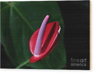 Macro Red  Anthurium Flower Wood Print