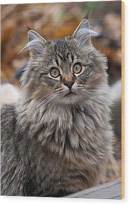 Wood Print featuring the photograph Maine Coon Cat by Rona Black