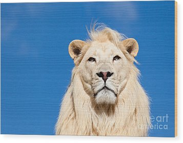 Majestic White Lion Wood Print by Sarah Cheriton-Jones