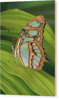 Malachite Butterfly (siproeta Stelenes) On Rhapis Palm Leaves (rhapis Excelsa) Wood Print by Darrell Gulin