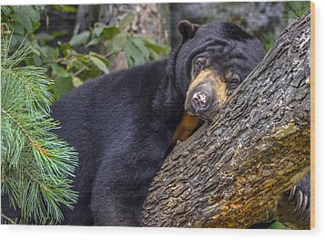 Malayan Sun Bear Wood Print by Brian Stevens