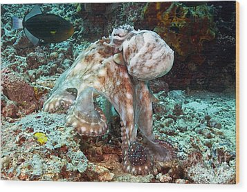 Malaysia, Octopus Wood Print by Dave Fleetham - Printscapes