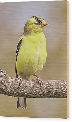 Male American Goldfinch In Early Spring Wood Print by Jim Hughes