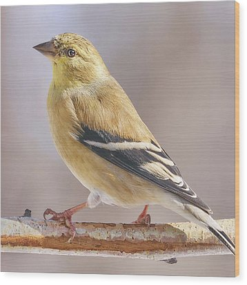 Wood Print featuring the photograph Male American Goldfinch In Winter by Jim Hughes
