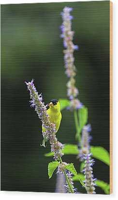 Wood Print featuring the photograph Male American Goldfinch by Juergen Roth